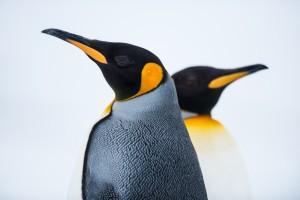 King Penguin Couple in love